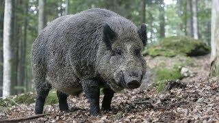 德克薩斯野豬泛濫,如何獵殺它們成為大難題,用上了直升機到底有沒有用? thumbnail
