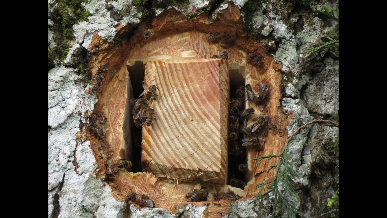 A Hive For The Honeybee In The Heart Of A Tree