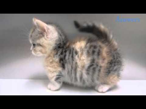 This Is a Munchkin Cat, AKA the Corgi of the Cat World