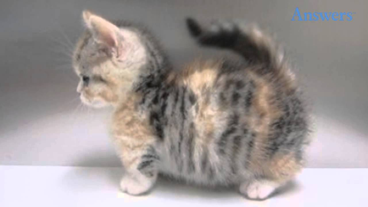 This Is a Munchkin Cat, AKA the Corgi of the Cat World ...