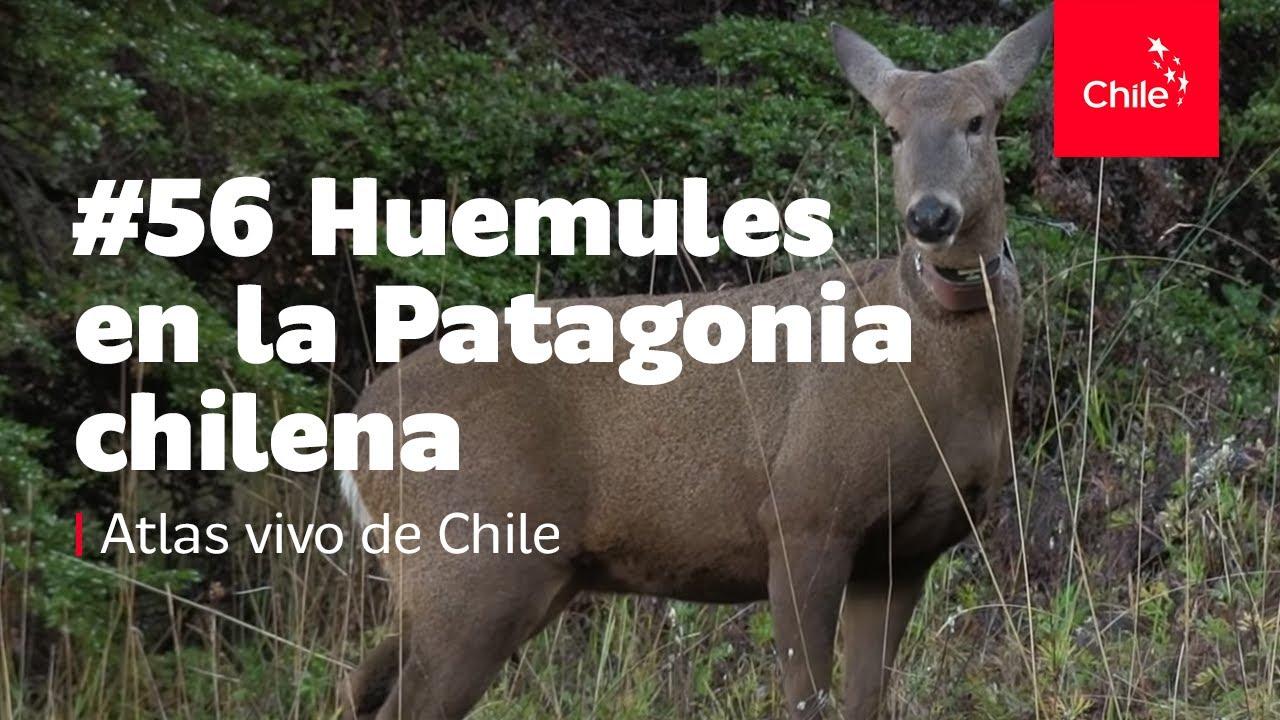 #56 Huemules en la Patagonia chilena - Atlas Vivo de Chile