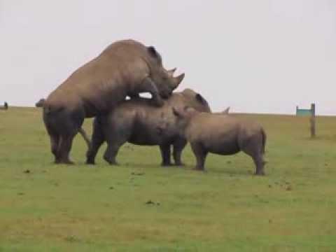 HD Rhino mating at Whipsnade Zoo With baby rhino watching ...
