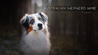 Australian Shepherd Jamie [2 Years]