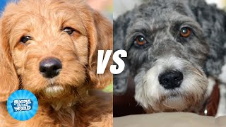 Labradoodle vs  Aussiedoodle Dog Breed Information | Dogs 101