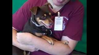 A4866647 Minnie | Minpin Mix Puppy