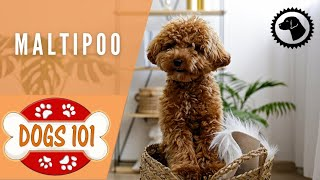 Dogs 101 - MALTIPOO - Top Dog Facts about the MALTIPOO | DOG BREEDS 🐶 Brooklyn's Corner