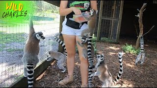 Family of Lemurs & Baby Lemur Playing!!
