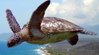 """""""Flying Turtle"""""""