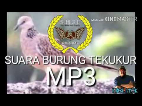 Suara Burung Tekukur MP3