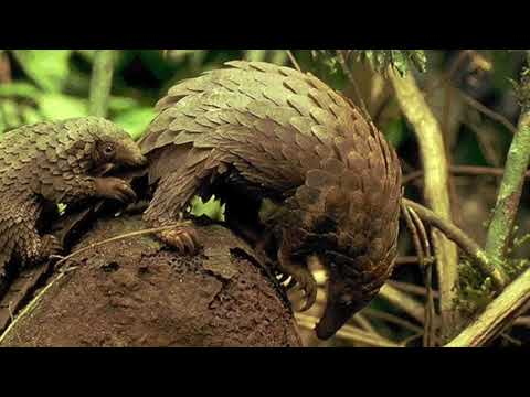 FoB Video The Pangolin Story FINAL