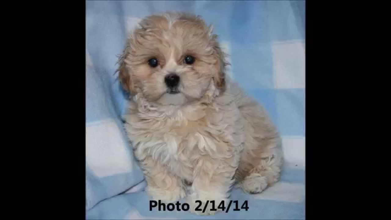 Watch Me Grow Sweet Teddy Bear Fuzzywuzzy Shichon Zuchon