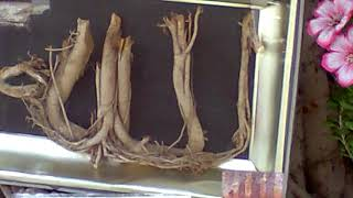 Allah ke naam ka ped ka nkasha(tree branch).Most amazing video you will ever see in your life