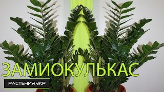 Большой ЗАМИОКУЛЬКАС уход в домашних условиях / Долларовое дерево(Замиокулькас (лат. Zamioculcas) — монотипный род растений семейства Ароидные (Araceae), представленный единственным..., 2014-12-18T21:27:09.000Z)
