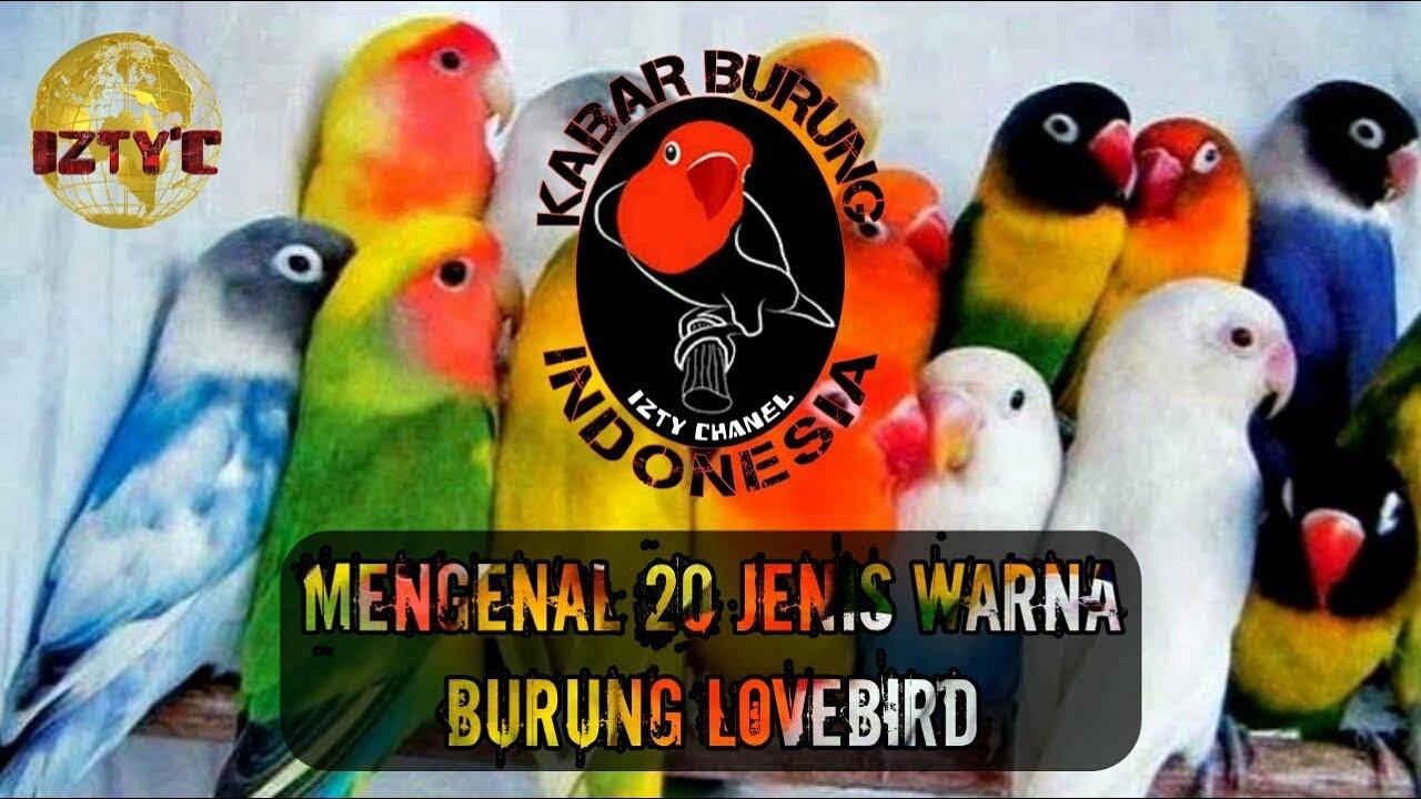 Unduh 95+ Foto Gambar Burung Lovebird Semua Jenis  Terbaru Gratis