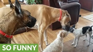 House full of dogs all howl simultaneously