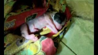 shih tzu dog giving birth to cute puppies..