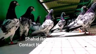 Top 10  Pigeons By Shahid Rajput Royal Teddy  💕👍💕 MA SHA ALLAH