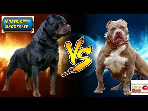 Rottweiler vs Pitbull 2018 - YouTube