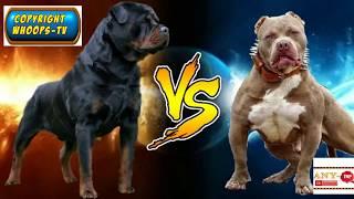 Rottweiler vs Pitbull 2018