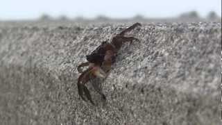 かに横歩き・カニ歩き方・蟹の動画