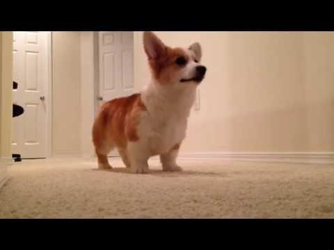 Pembroke welsh corgi puppy playing fetch