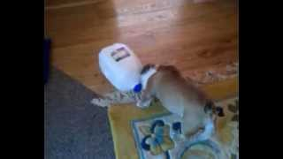 English bulldog puppy fighting milk jug. Cutest puppy ever!