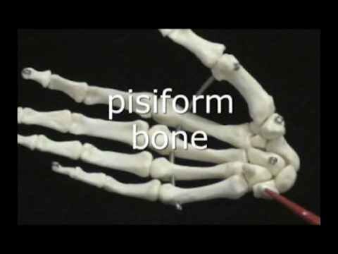 Anterior and posterior view of hand bones
