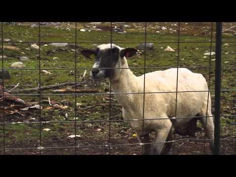 Орущая овца. Смешной прикол