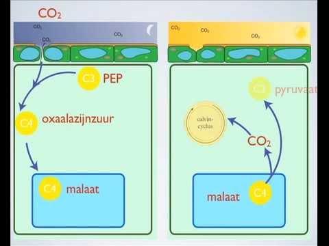 C4 en CAM planten biocast