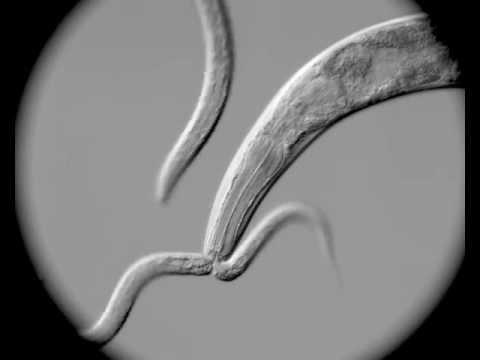 P. pacificus eats C. elegans!
