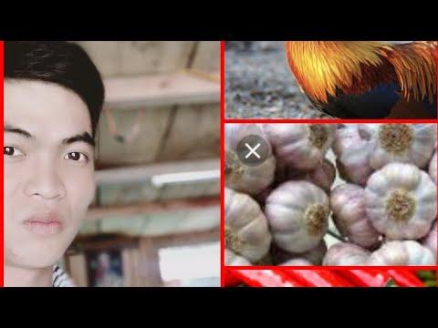 Gà trừ tà của châu việt Cường   SƠN HỔ vlogs