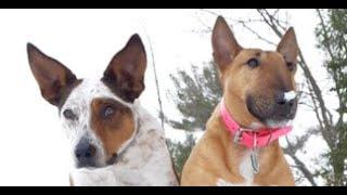 A mini Bull Terrier wrestles with a husky