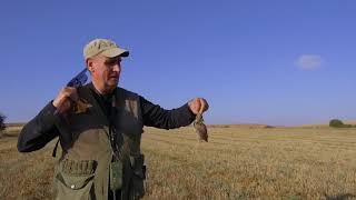Primera salida de cachorros setter Gordon a cazar codornices en Palencia