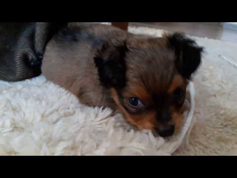 Russian Toy Terrier long hair sleepy puppy  - 38 days