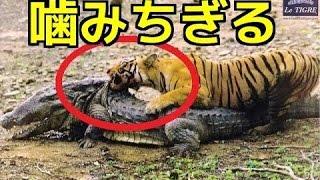 【衝撃映像】①トラの狩り ワニを捕食!首を攻撃!②危険動物たちの捕食&...