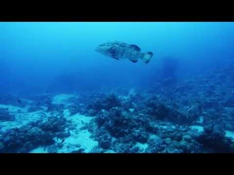 Malabar Grouper \ هامور في السودان