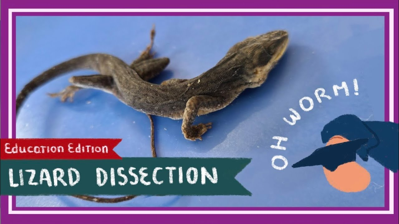 Anole Lizard Dissection || Take Me To Your Lizard [EDU]