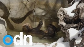 Brother bears enjoy snow day mid-spring in San Diego Zoo