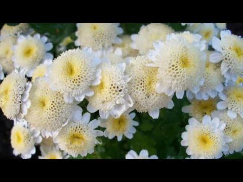 Хризантема девичья. (матрикария исключительная, пиретрум девичий)
