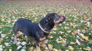 Attention Rottdach !!!  Rottweiler Dachshund Mix Dog !!!