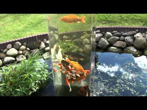 Plexiglas tv how to fishtube selbst bauen doovi for Koi im gartenteich