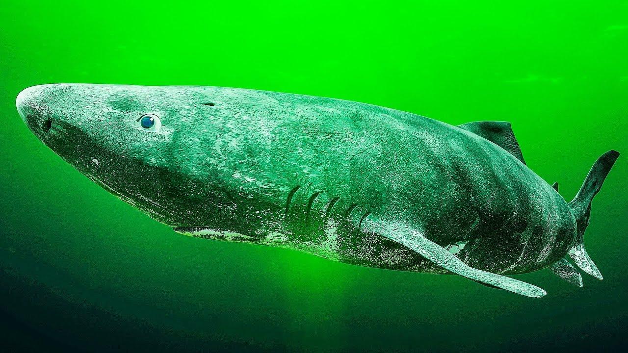 Ученые обнаружили самую старую живущую акулу возрастом в 512 лет