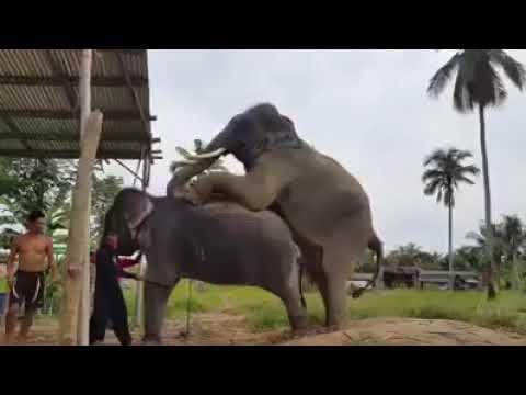 Seperti Ini Proses Gajah Kawin Hewan Besar Youtube - Perkawinan Hewan Gajah, Masa Kawin Singkat Gajah Betina Tidak Mau Jauh Dari Gajah Jantan