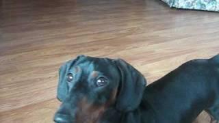 Cute Dachshund Video Clips