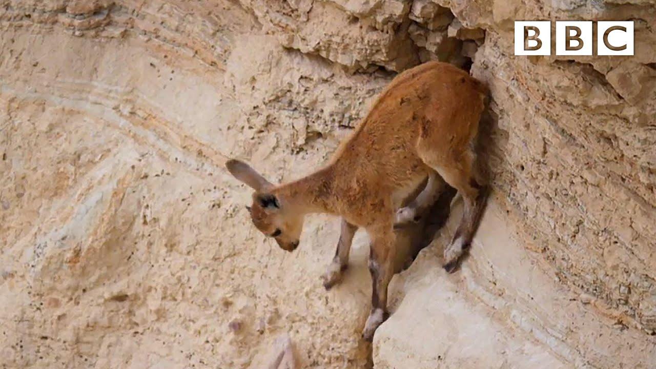 Baby ibex descends mountains to escape a fox | Planet Earth II: Mountains - BBC