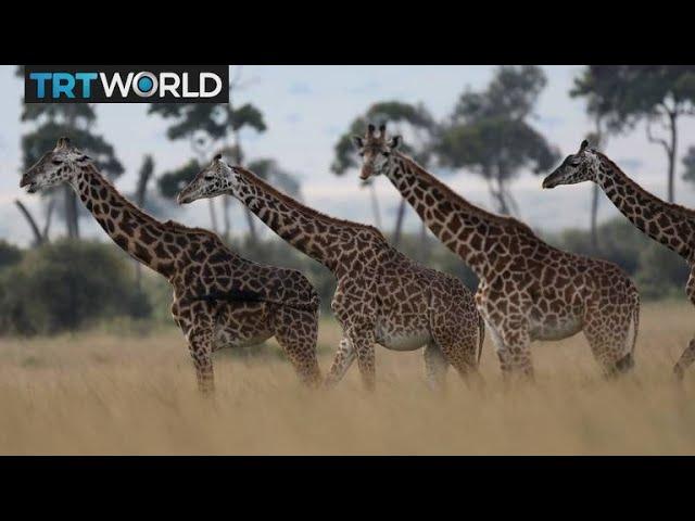 Endangered Giraffes: Species in Africa face threat of extinction