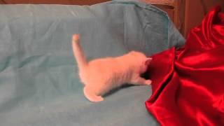 Британские котята окраса камео в питомнике кошек Мон А