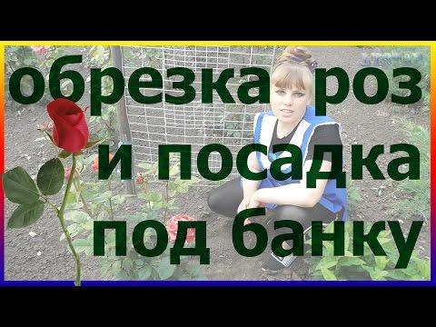 Как посадить розу под банку