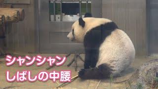 2019/8/20 中腰で様子を伺うシャンシャン^^ Giant Panda Xiang Xiang