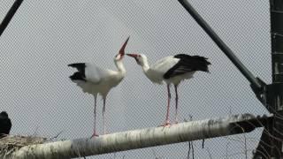 シュバシコウ(ヨーロッパコウノトリ)のクラッタリング  Clattering of European White Stork